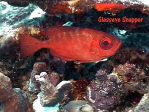 Glasseye_Snapper_web