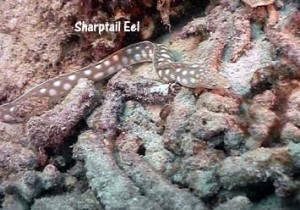 Sharptail_eel_web