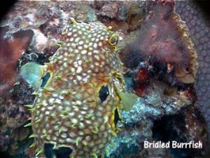 bridled_burrfish_close_web