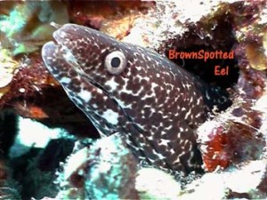 brownspotted_eel_web